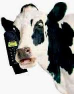cows texting